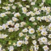 Daisies In Spring Art Print