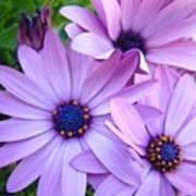 Daisies Lavender Purple Daisy Flowers Baslee Troutman Art Print