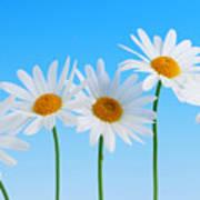 Daisy Flowers On Blue Art Print