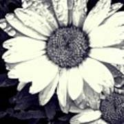 Daisy In Black And White  Art Print