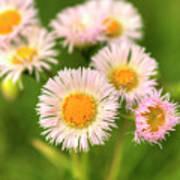 Daisy Weeds Art Print