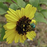 Daisy With Blue Bee Art Print