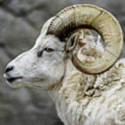 Dall Sheep Art Print