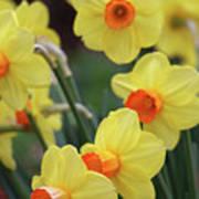 Dallas Daffodils 01 Art Print