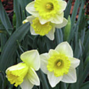 Dallas Daffodils 08 Art Print