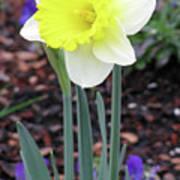 Dallas Daffodils 20 Art Print