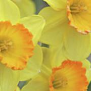 Dallas Daffodils 24 Art Print