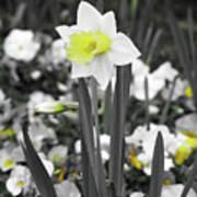 Dallas Daffodils 54 Art Print