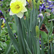 Dallas Daffodils 63 Art Print