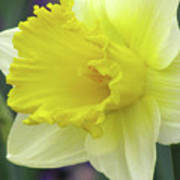 Dallas Daffodils 80 Art Print