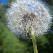 Dandelion Seeds 110 Art Print