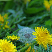 Dandelions, Young And Old Art Print