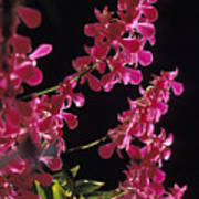 Danrobium Orchids Used To Make Lais Art Print