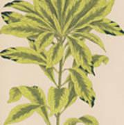 Daphne Mazereon Variegata Art Print