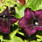 Dark Purple Petunia Art Print