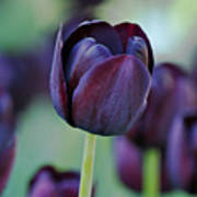 Dark Purple Tulip Art Print
