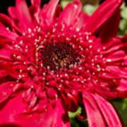Dark Red Gerbera Daisy Art Print