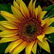 Dark Sunflower Art Print