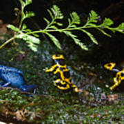 Dart Frogs On The Move Art Print