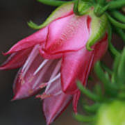 Darwinia Oxylepis 3a Art Print