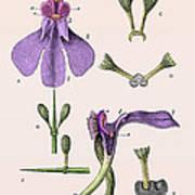 Darwins Orchis Pyramidalis, Illustration Art Print