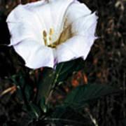 Datura Blossum Art Print