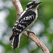 Daydreaming Downy Woodpecker Art Print