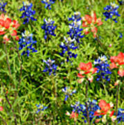Decorative Texas Bluebonnets Meadow Digital Photo G33117 Art Print