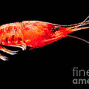 Deep Sea Shrimp Art Print