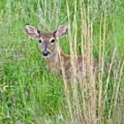 Deer Bedded Down In Grass Art Print