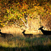Deer Family In Sycamore Park Art Print