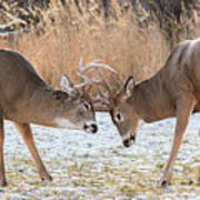 Deer Fight Art Print