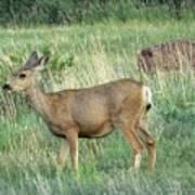 Deer In Boulder Colorado Art Print