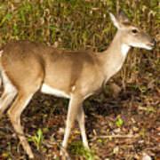 Deer In Morning Ligh Art Print