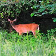 Deer In Overhang Of Trees Art Print
