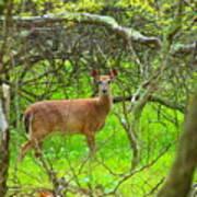Deer In Shanendoah Mountains Art Print