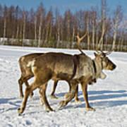 Deers Running On Snow Art Print