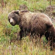 Denali Grizzly Art Print