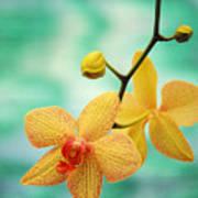Dendrobium Art Print