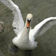 Denmark, Copenhagen Swan Flaps Her Wing Art Print