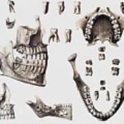 Dental Anatomy Art Print