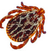 Dermacentor reticulatus tick  Art Print