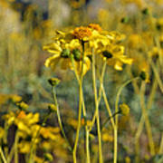 Desert Flower Impressions One - Wild Sunflowers Art Print