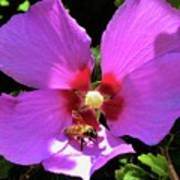 Desert Hibiscus With Honey Bee Art Print