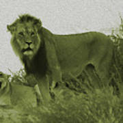 Desert Lions Art Print