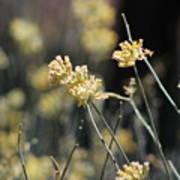 Desert Milkweed Art Print