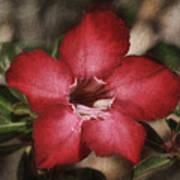 Desert Rose In Daytona Art Print