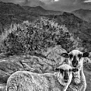 Desert Sheep Art Print