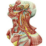 Detailed Dissection View Of Human Neck Art Print