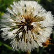 Dew Covered Dandelion Art Print